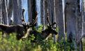 No evidence predator control will save caribou: study