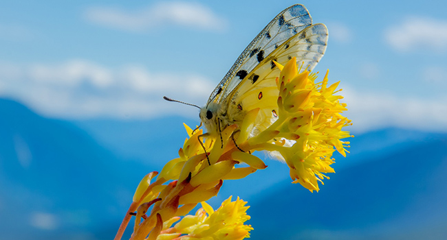 Butterflies 'sentinels' of climate change in mountain ecosystems